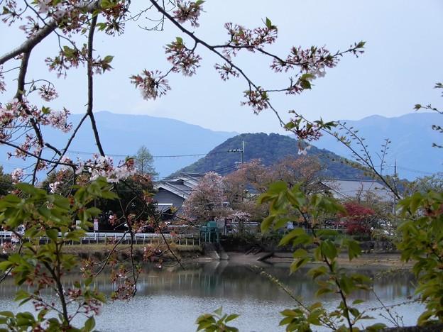 05醍醐池・桜と菜の花 (7)