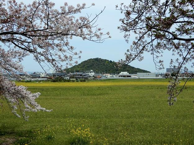 05醍醐池・桜と菜の花 (8)