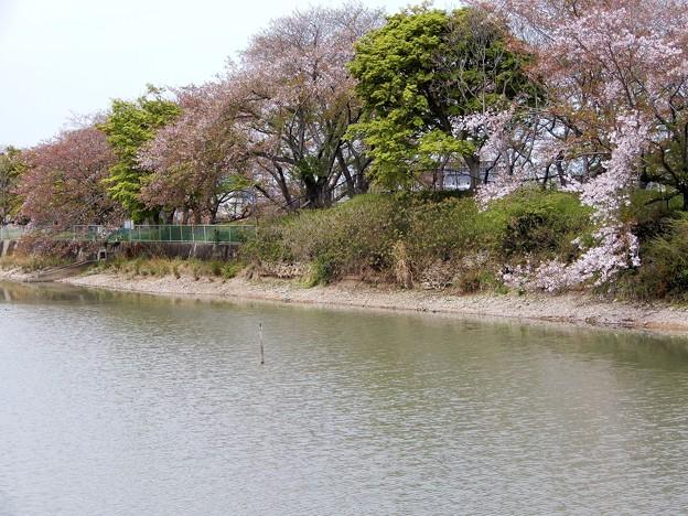 05醍醐池・桜と菜の花 (9)