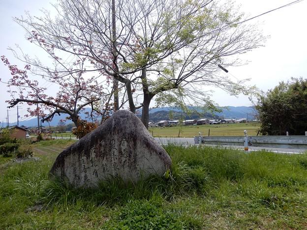 05醍醐池・桜と菜の花 (10)