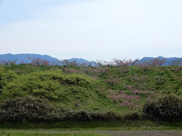 11香具山北東麓の桃畑(西側から)