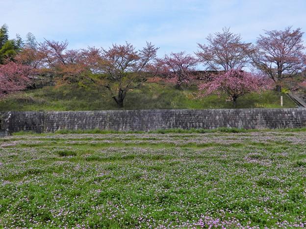 14万葉の丘・スポーツ広場進入路脇の桜とレンゲ畑