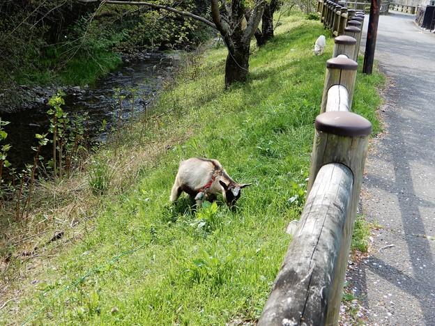 20飛鳥川畔で草をはむヤギ (1)