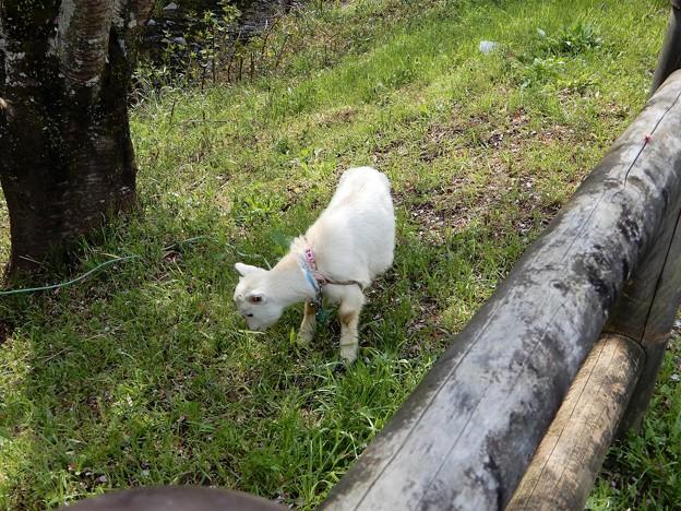 20飛鳥川畔で草をはむヤギ (2)