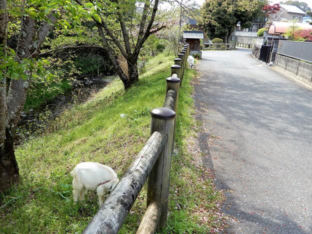 20飛鳥川畔で草をはむヤギ (3)
