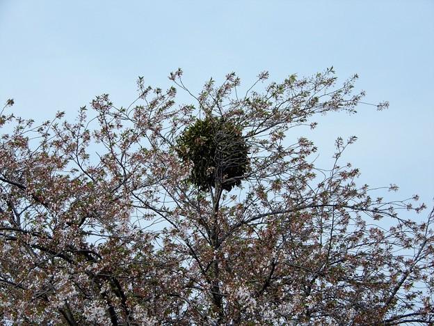 24桜にヤドリギ