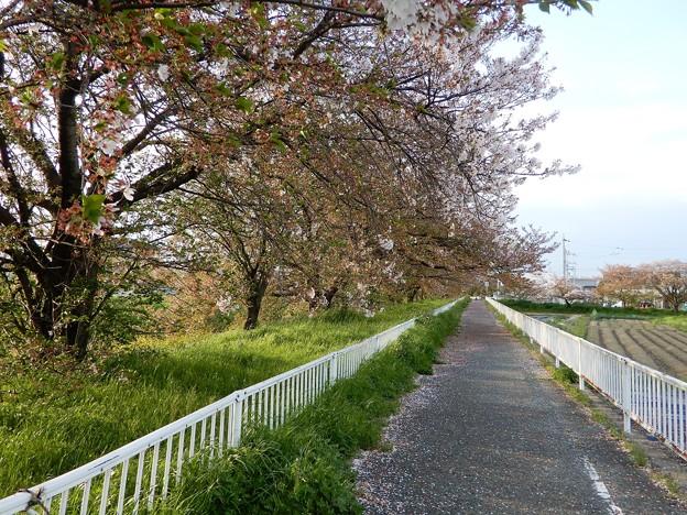 26飛鳥川自転車道 (4)