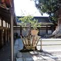 春日大社・林檎の木 (1)