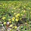 キジムシロまたはオヘビイチゴ (1)