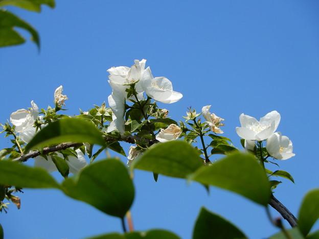 墓参の道で見かけた花・ギンバイカ