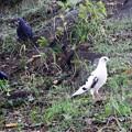 白い鳩 (1)