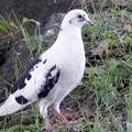 白い鳩 (2)