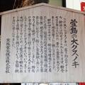 Photos: 萱島神社の大クスノキ (3)