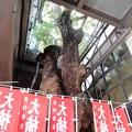 Photos: 萱島神社の大クスノキ (5)