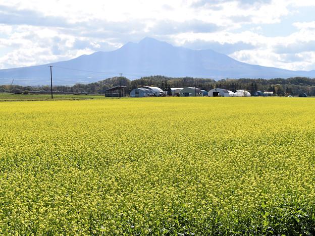 斜里町の菜の花畑