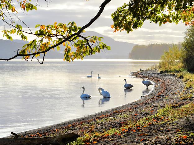 白鳥(ホテル湖岸)
