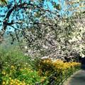 ヤマブキ&牡丹桜