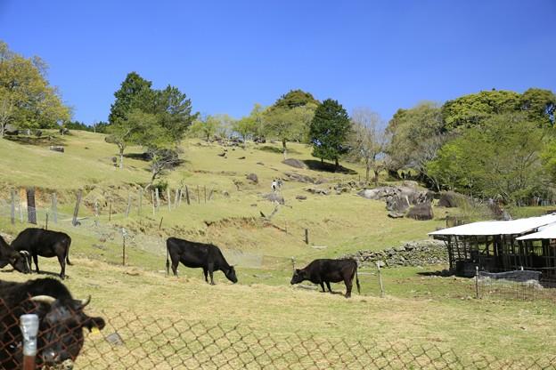 若草の季節(黒毛和牛の放牧)