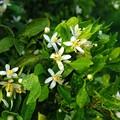 ミカンの花の咲くころ