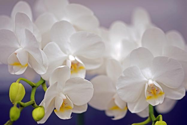 純白の胡蝶蘭