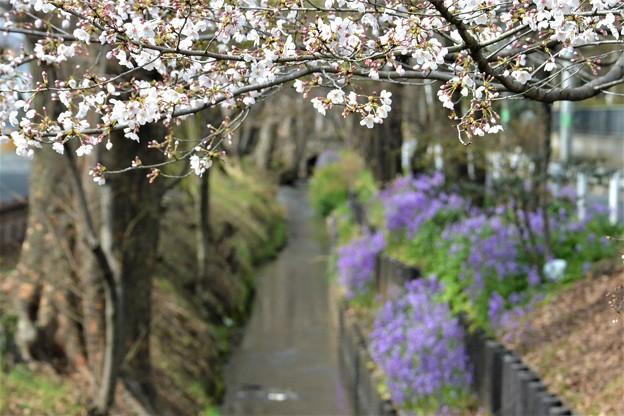 ソメイヨシノのトンネルを・・
