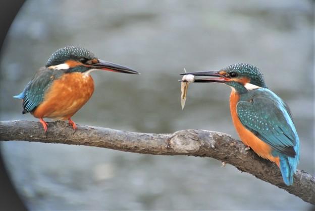 カワセミカップルの求愛給餌