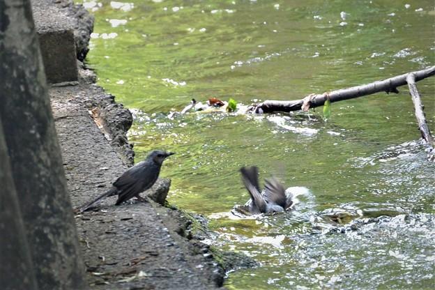 ヒヨドリカップルの水浴び