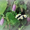 ホタルブクロが咲き始めた