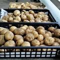 Photos: ジャガイモ・2回目の収穫