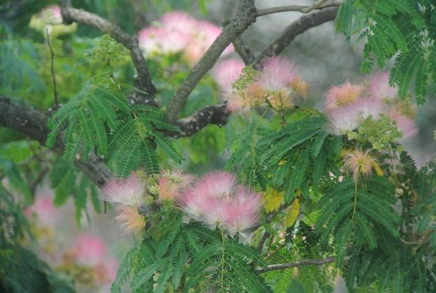 Photos: ネムノキの花..