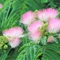 Photos: ネムノキの花.