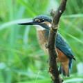 カワセミ♂幼鳥