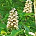 Photos: トチノキの花