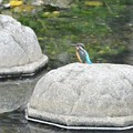 K川にカワセミ3羽発見.