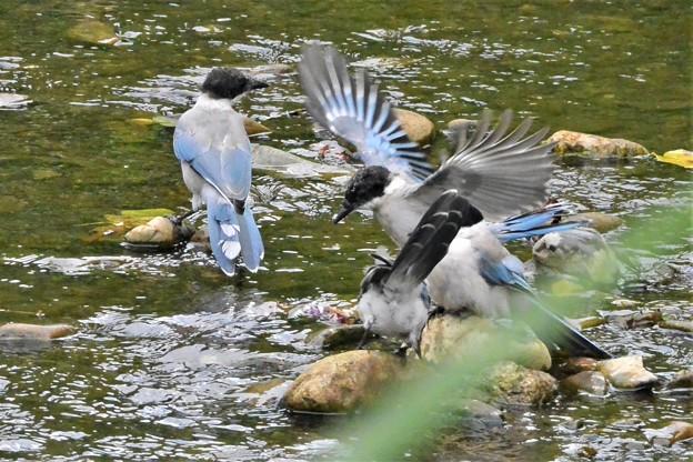 オナガ幼鳥の水遊び