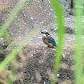 カワセミ♂若鳥