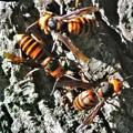 多分オオスズメバチ