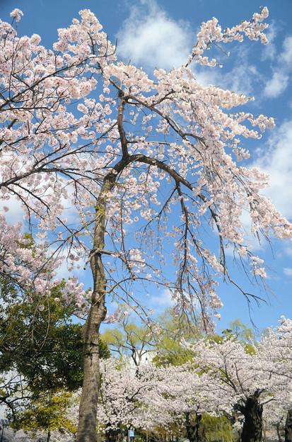2104枝垂桜