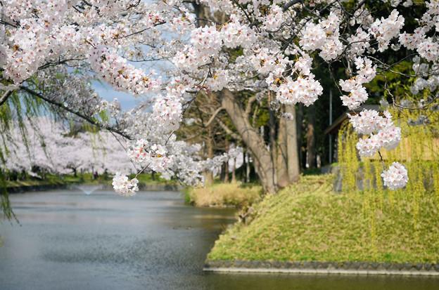 2104鶴岡公園のお堀端の桜03