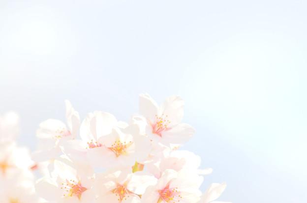 2104桜(余白あり)