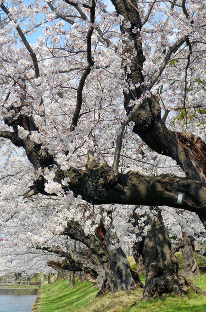 2104お堀端の桜02