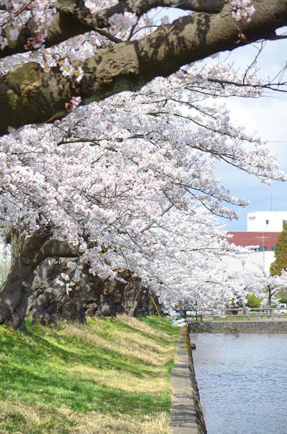 2104お堀端の桜01