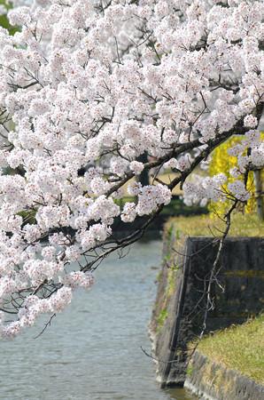2104お堀端の桜03