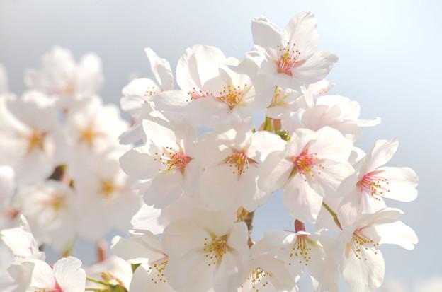 2104桜(余白無し)