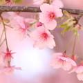 Photo: 桜