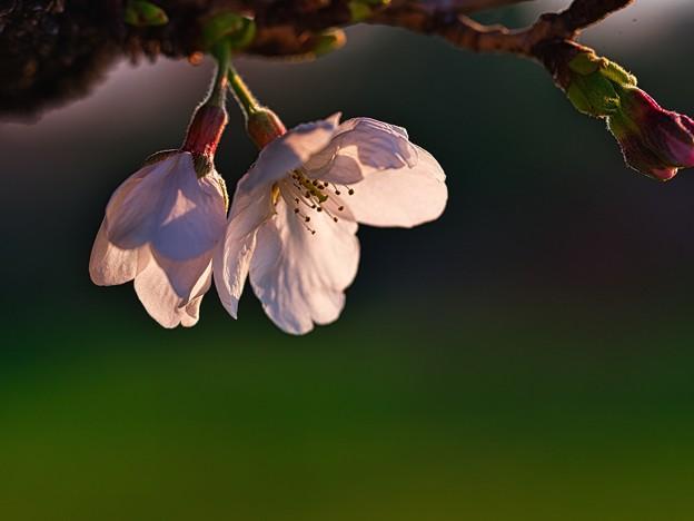 桜の様子は