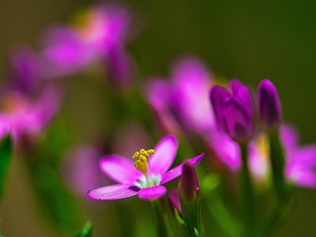Photos: ピンクの小粒