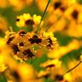 Photos: 黄色の絨毯