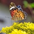 蝶を探して