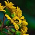 Photos: 石蕗の花